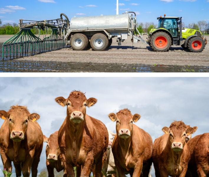Bild von einem Traktor der sein Feld mit Gülle düngt, sowie Kühen eines Landwirtschaftsbetriebes auf der Weide